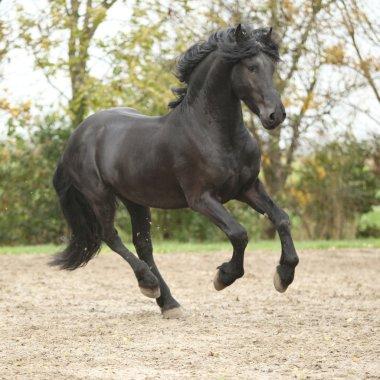 Black friesian stallion running on sand in autumn