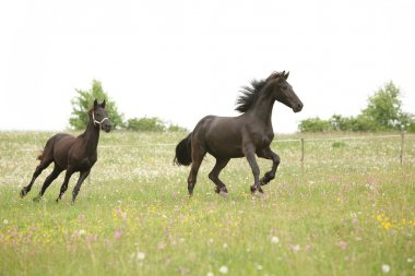 Two black friesian horses running in front of white sky