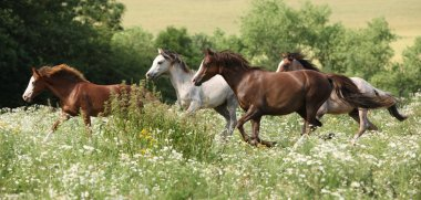 Batch of horses running in flowered scene