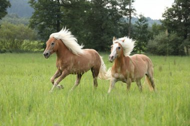 Two chestnut horses with blond mane running in nature