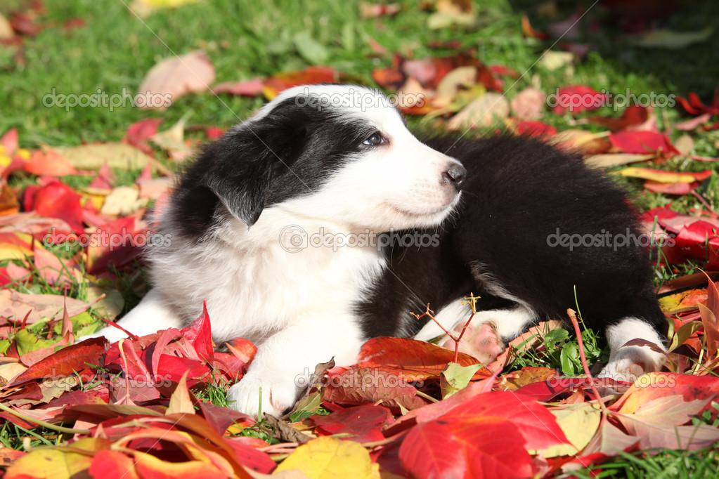 collie de frontera adorable cachorro en hojas rojas — Fotos de Stock ...