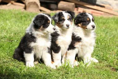 Three australian shepherd puppies sitting together