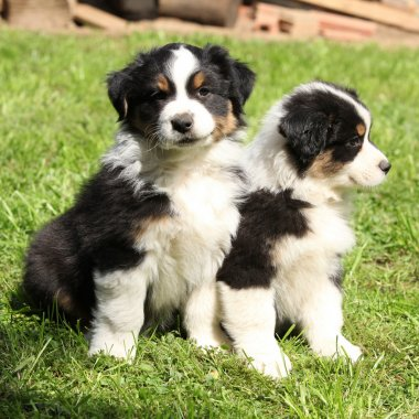 Two australian shepherd puppies together
