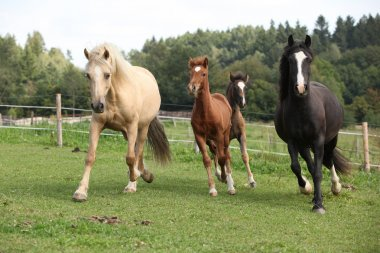 Mares with foals running