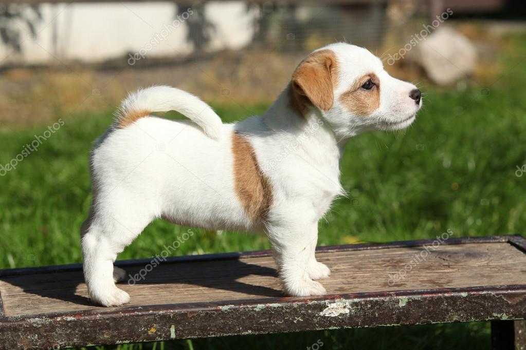Adorable jack russell terrier puppy standing