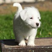 Adorable jack Russell Terrier Welpe stehend