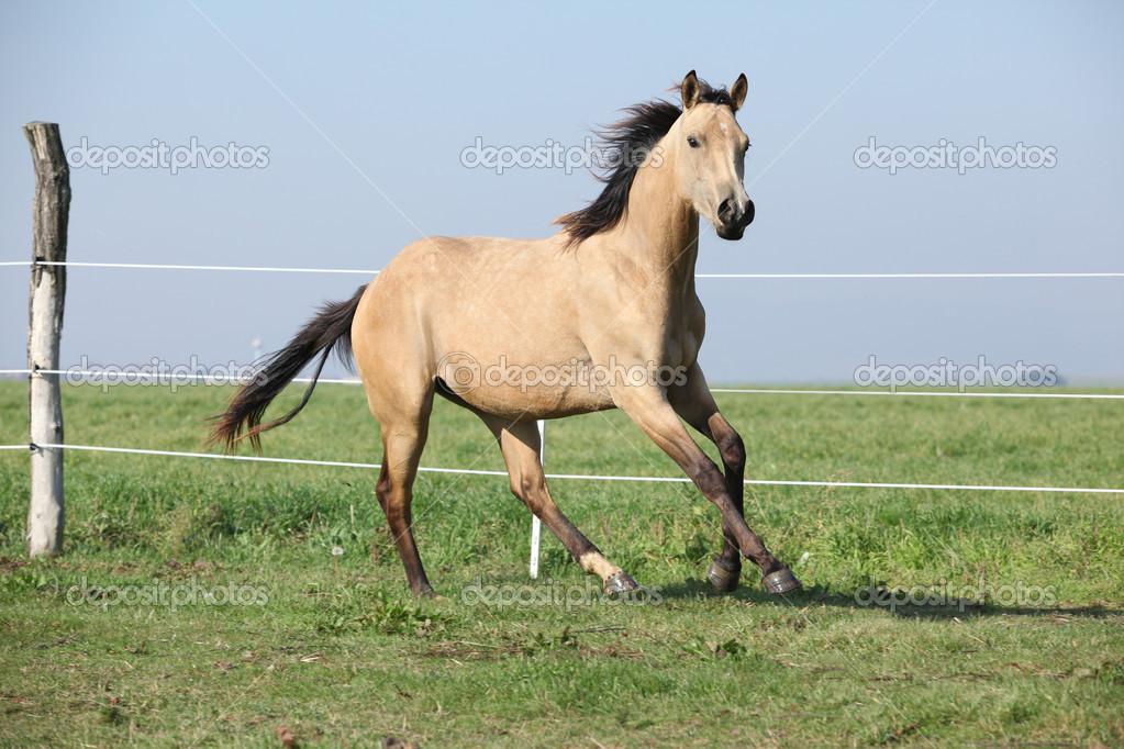 Fotos: caballos cuarto de milla | caballo cuarto de milla Palomino ...