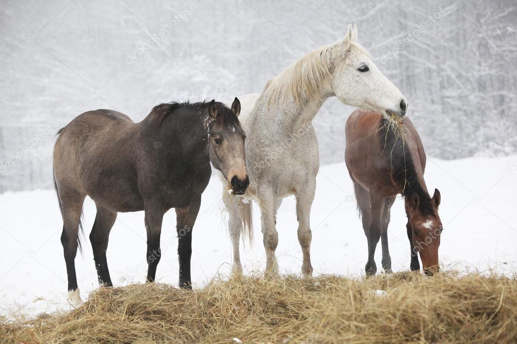Batch of horses in winter