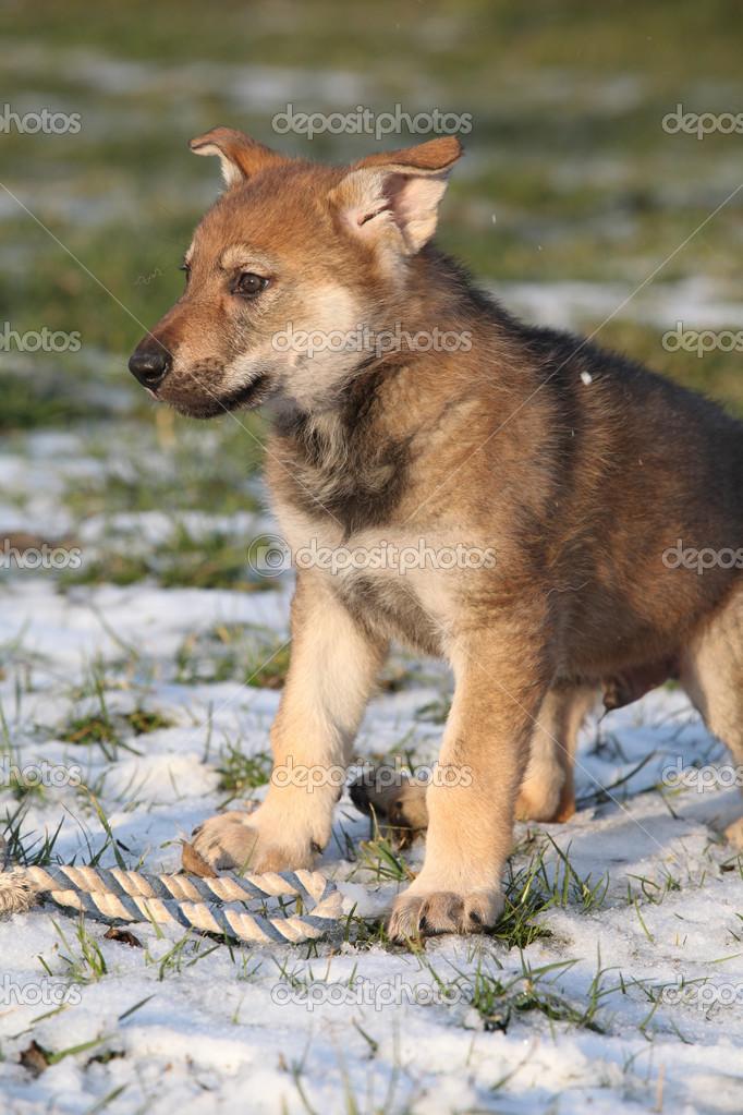 Fotos Lobos Cachorros Precioso Cachorro De Perro Lobo En Invierno