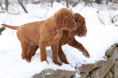Two puppies of Hungarian Short-haired Pointing Dog in winter