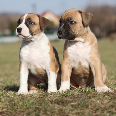 Two nice little puppies of American Staffordshire Terrier togeth