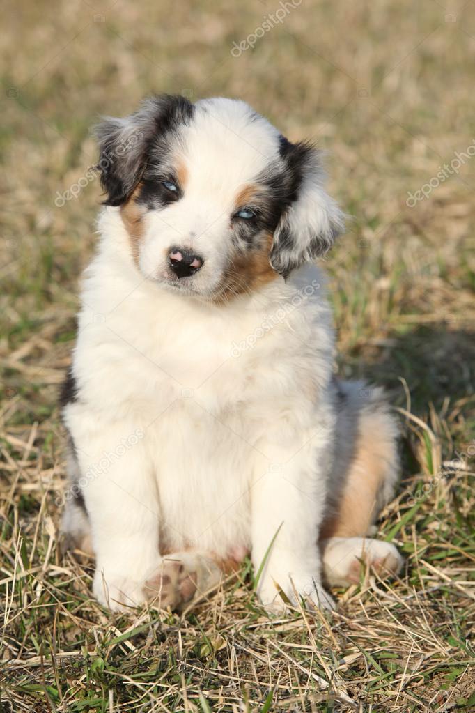 Nice puppy of Australian Shepherd Dog in early spring grass