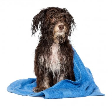 Wet dark chocolate havanese puppy dog after bath