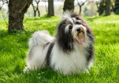 Cute Havanese dog in a beautiful sunny grassy field