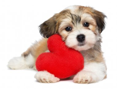A cute lover valentine havanese puppy dog with a red heart isolated on white background stock vector