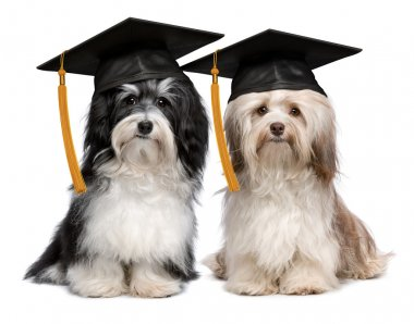 Two eminent graduation havanese dogs wit cap