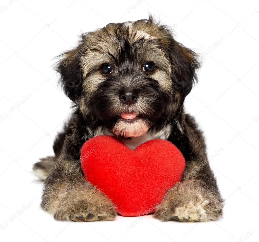 A Cute Lover Valentine Havanese Puppy Dog Is Holding A Red Heart, Isolated  On White Background U2014 Photo By Mdorottya
