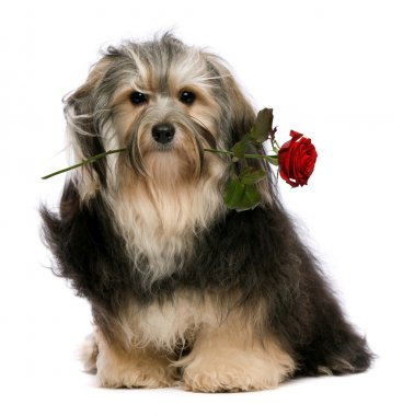 Cute lover tango havanese dog with a red rose