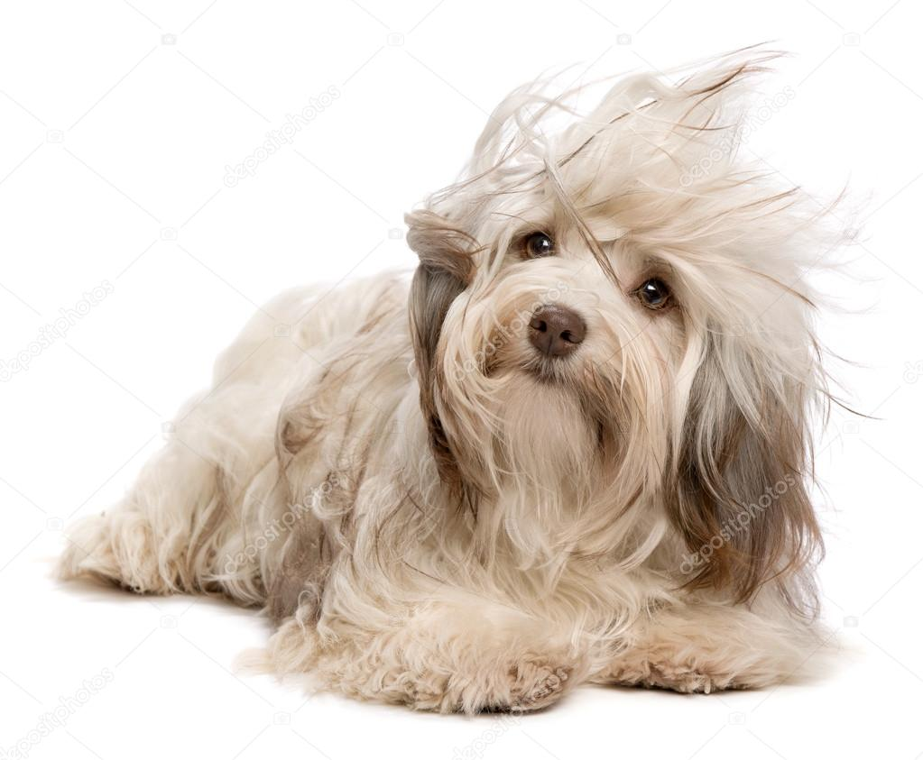 Cute chocolate Havanese dog in wind — Stock Photo