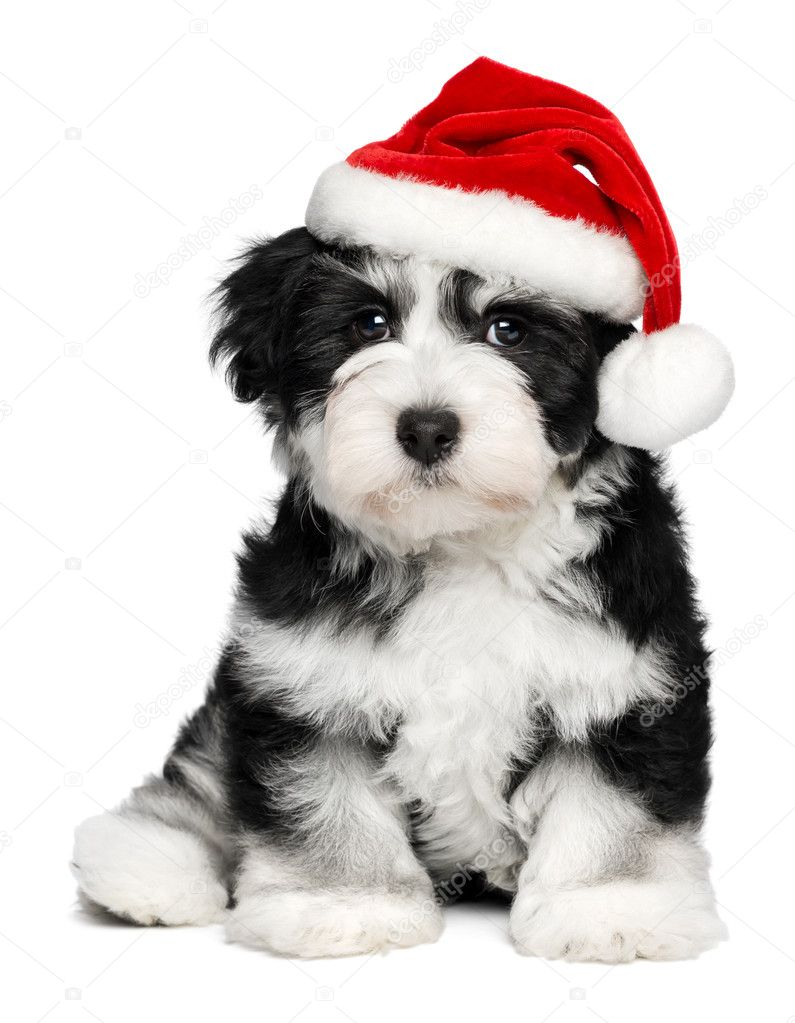 Cute christmas havanese puppy dog with a santa hat — stock
