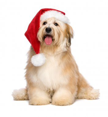 Cute reddish sitting Christmas Havanese puppy dog with a Santa hat