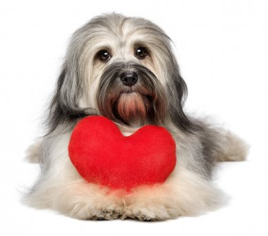 A cute lover valentine havanese dog with a red heart isolated on white background stock vector
