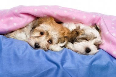 Cute Havanese puppies are lying and sleeping in a bed