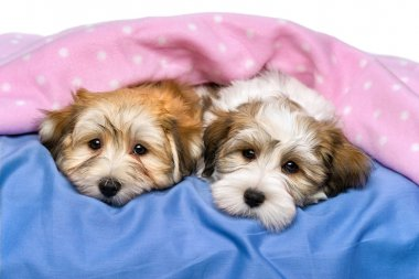 Two cute Havanese puppies are resting in a bed