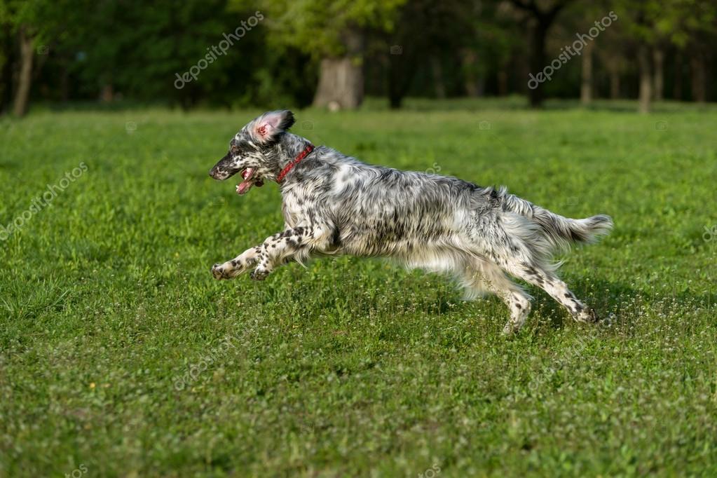 Cute blue belton English Setter dog is running cross on a meadow