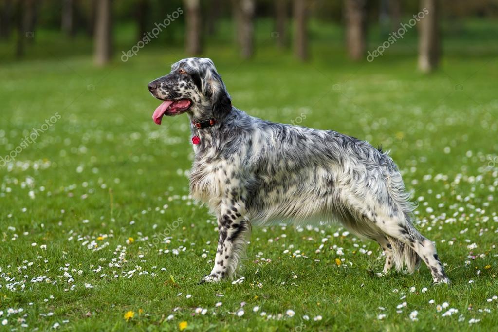 Carino blue belton setter inglese cane in un prato di for Cane setter