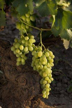 vine leaf , grape, nature