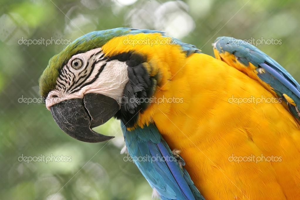 μεγάλο πουλί Βραζιλίας