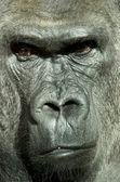 Photo Gorilla