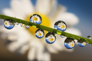 Dew Point on daisy