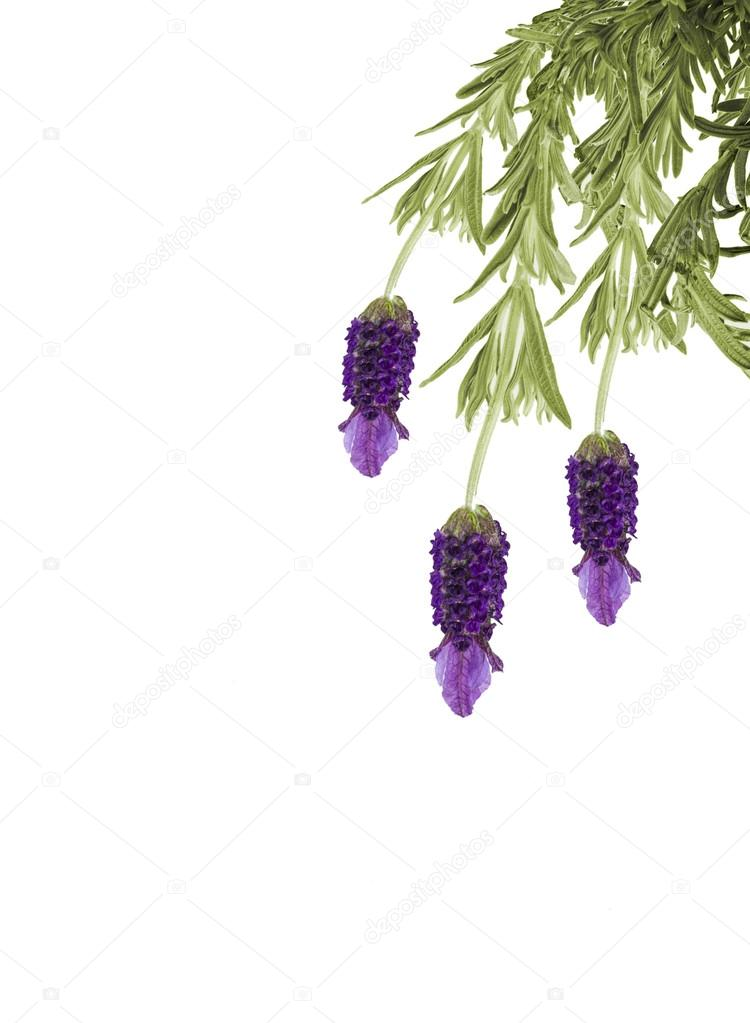 Hanging lavender isolated on white background