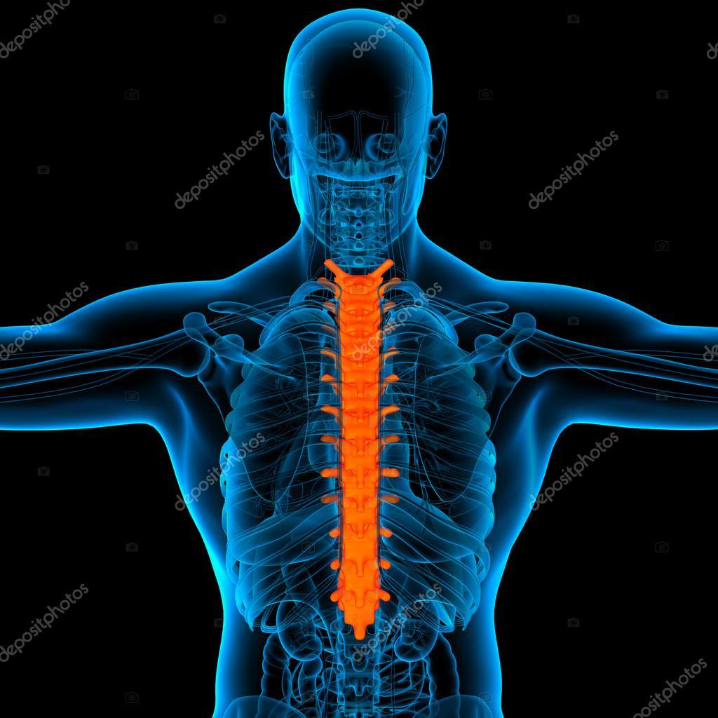 Anatomía de la espina dorsal torácica-vista posterior — Foto de ...