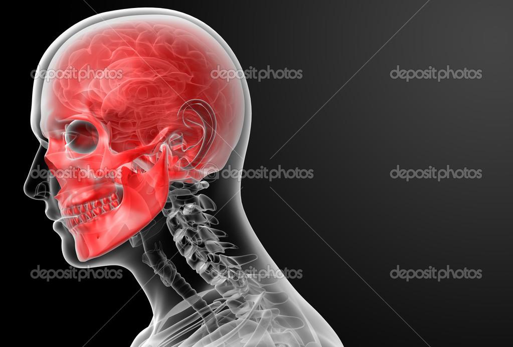 3D render cráneo humano Anatomía — Foto de stock © maya2008 #42884457