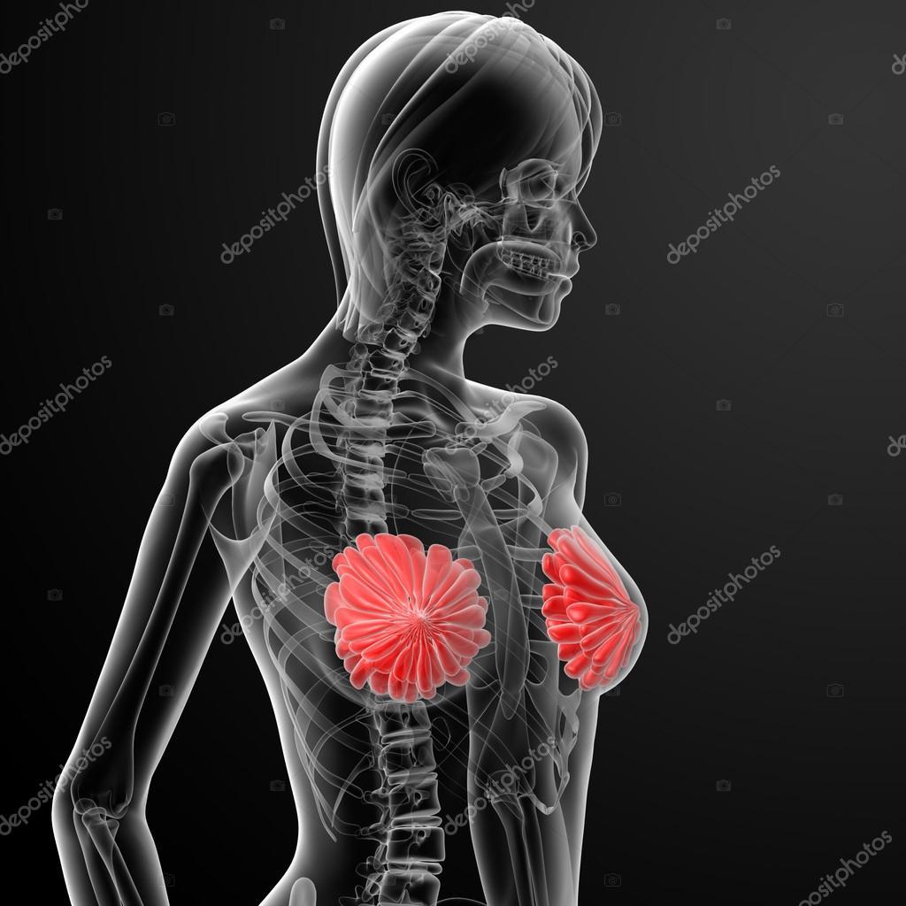 weibliche Brust-Anatomie-Röntgen — Stockfoto © maya2008 #44319375