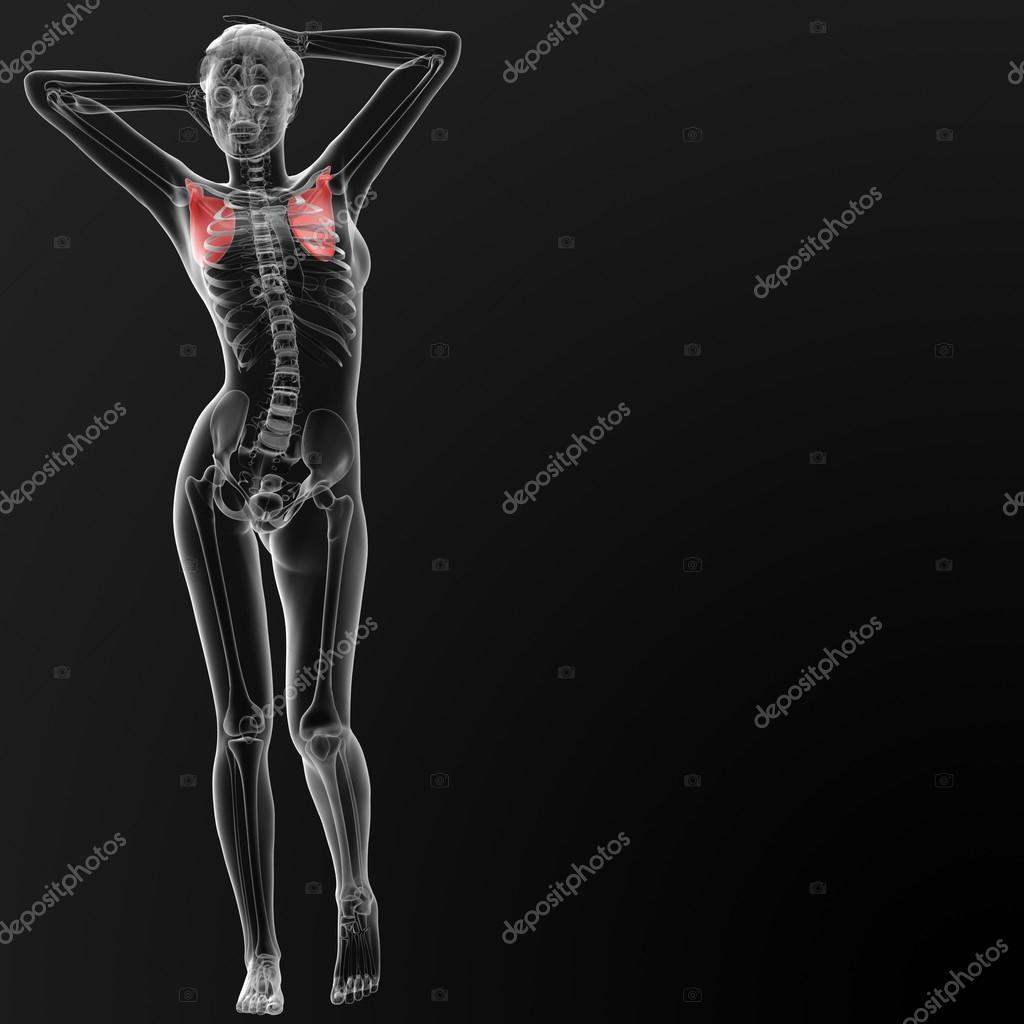 weibliche anatomie — Stockfoto © maya2008 #45823775