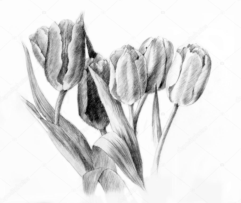 Tulips pencil drawing stock photo piyasheva 24426317
