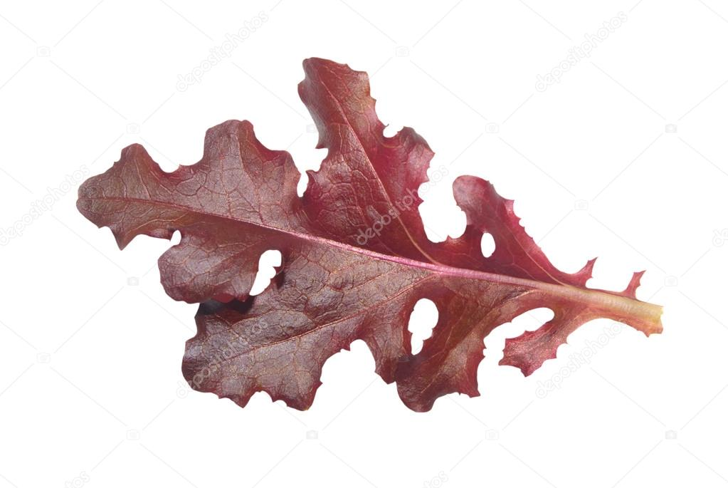 Single red gourmet lettuce leaf