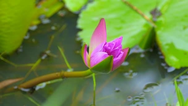 rózsaszín tavirózsa virág virágzó idő megszűnése