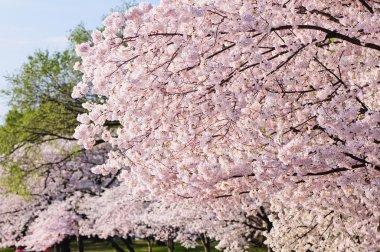 Cherry Blossoms In Peak Bloom
