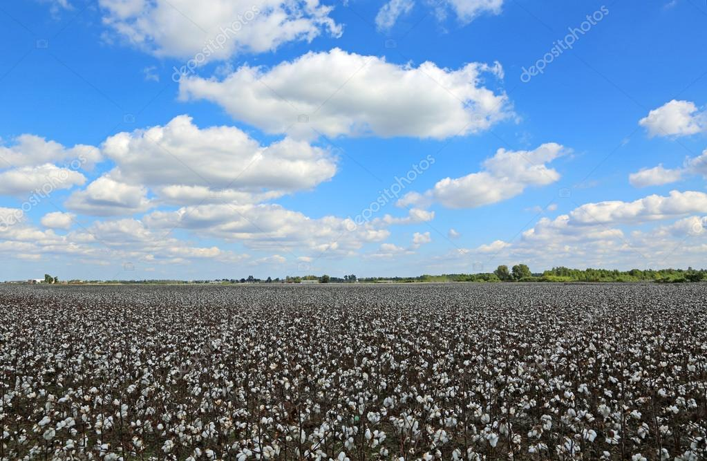Blue sky over cotton field