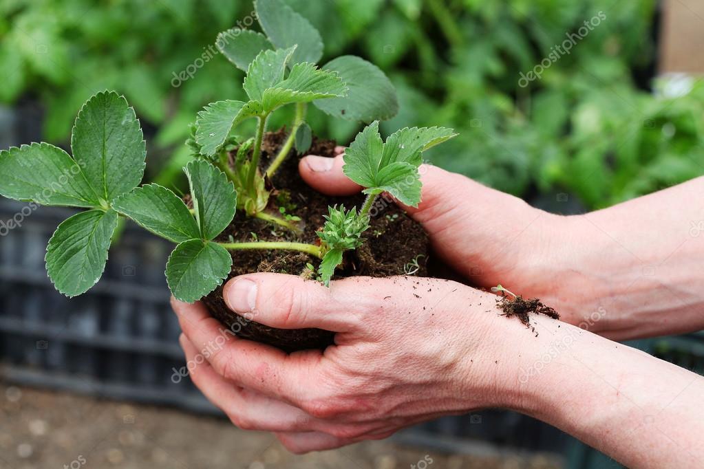 Preparing strawbery plant for planting