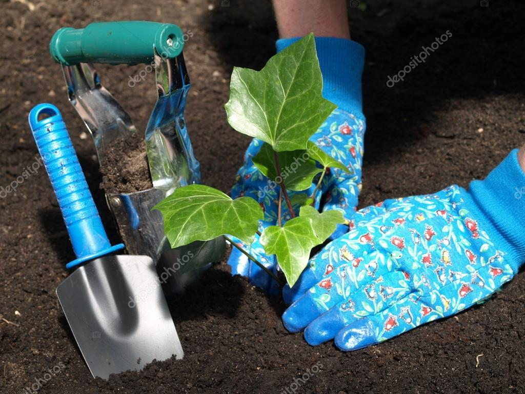 Garden work: ivy seedling