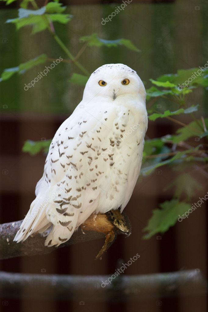 Snowy owl (Harfang des neiges) sitting quietly looking out for prey