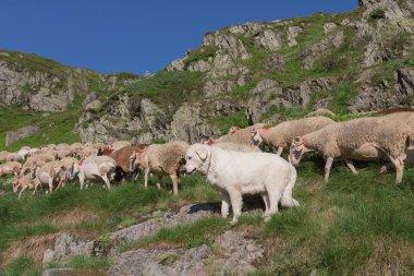 Sheepdog keeping sheep in France