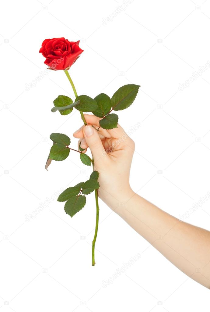 female hand holding a red rose