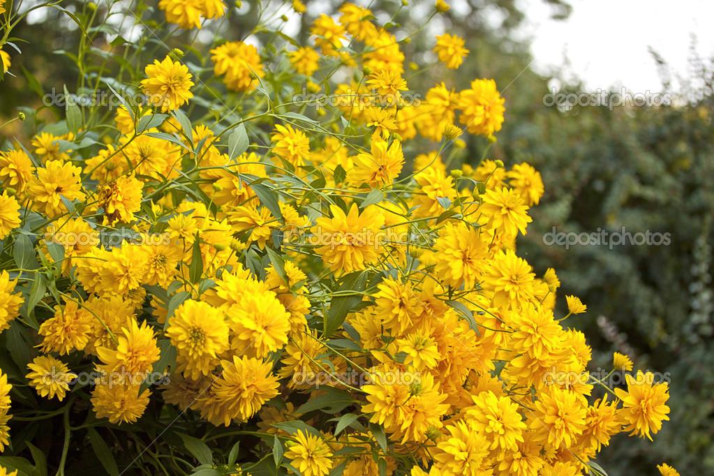 buske med gula blommor på våren